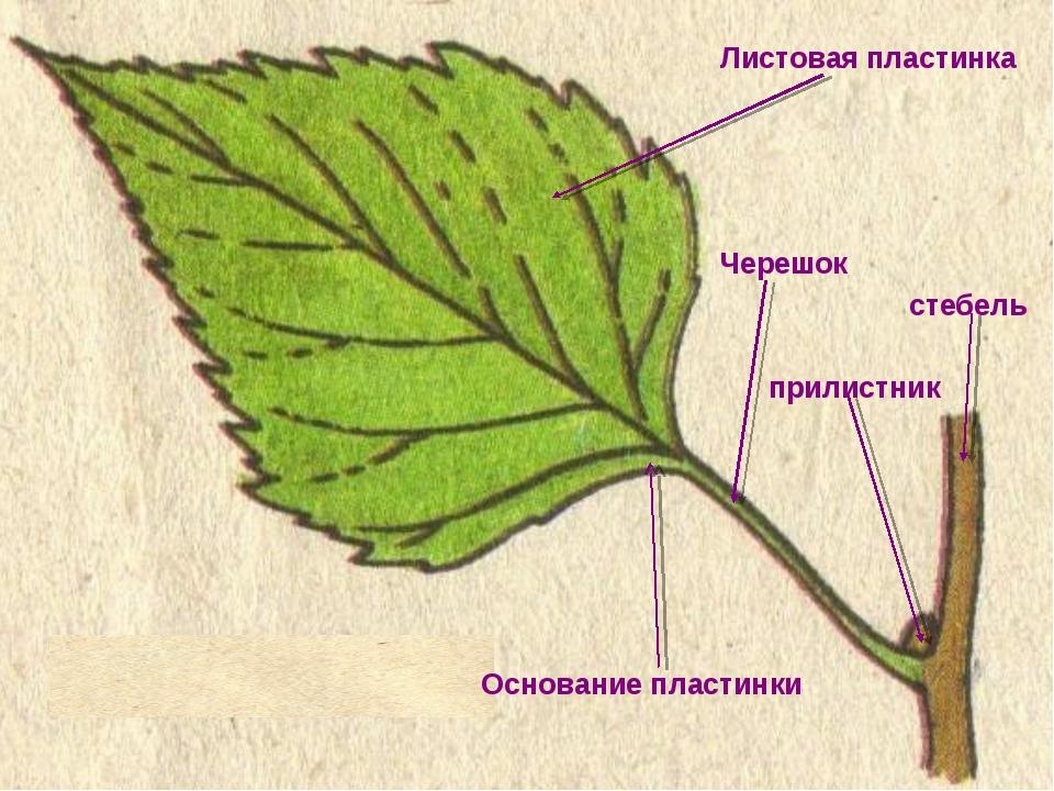 Листовая пластинка Черешок стебель прилистник Основание пластинки
