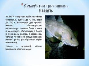 НАВАГА – морская рыба семейства тресковых. Длина до 47 см, весит до 700 г. Р