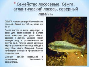 СЕМГА – проходная рыба семейства лососей. Длина до 150 см, весит до 39 кг.
