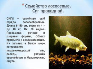 СИГИ – семейство рыб отряда лососеобразных. Длина 8-150 см, весят от 4 г до