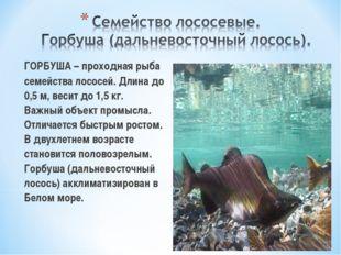 ГОРБУША – проходная рыба семейства лососей. Длина до 0,5 м, весит до 1,5 кг.