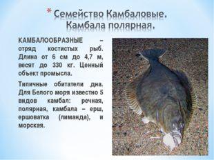 КАМБАЛООБРАЗНЫЕ – отряд костистых рыб. Длина от 6 см до 4,7 м, весят до 330