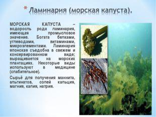 МОРСКАЯ КАПУСТА – водоросль рода ламинария, имеющая промысловое значение. Бо