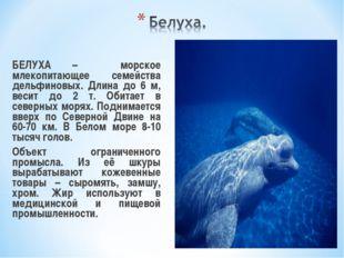 БЕЛУХА – морское млекопитающее семейства дельфиновых. Длина до 6 м, весит до