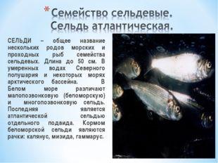 СЕЛЬДИ – общее название нескольких родов морских и проходных рыб семейства с