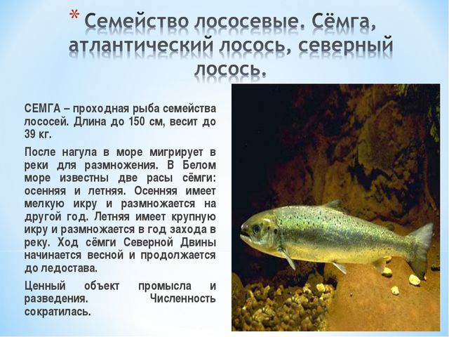 СЕМГА – проходная рыба семейства лососей. Длина до 150 см, весит до 39 кг....