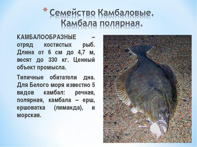 КАМБАЛООБРАЗНЫЕ – отряд костистых рыб. Длина от 6 см до 4,7 м, весят до 330...