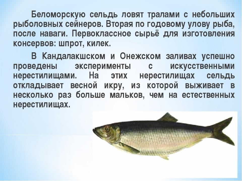 Беломорскую сельдь ловят тралами с небольших рыболовных сейнеров. Вторая по...