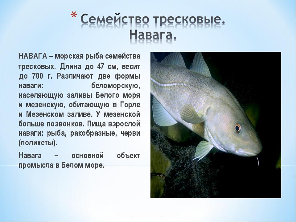НАВАГА – морская рыба семейства тресковых. Длина до 47 см, весит до 700 г. Р...