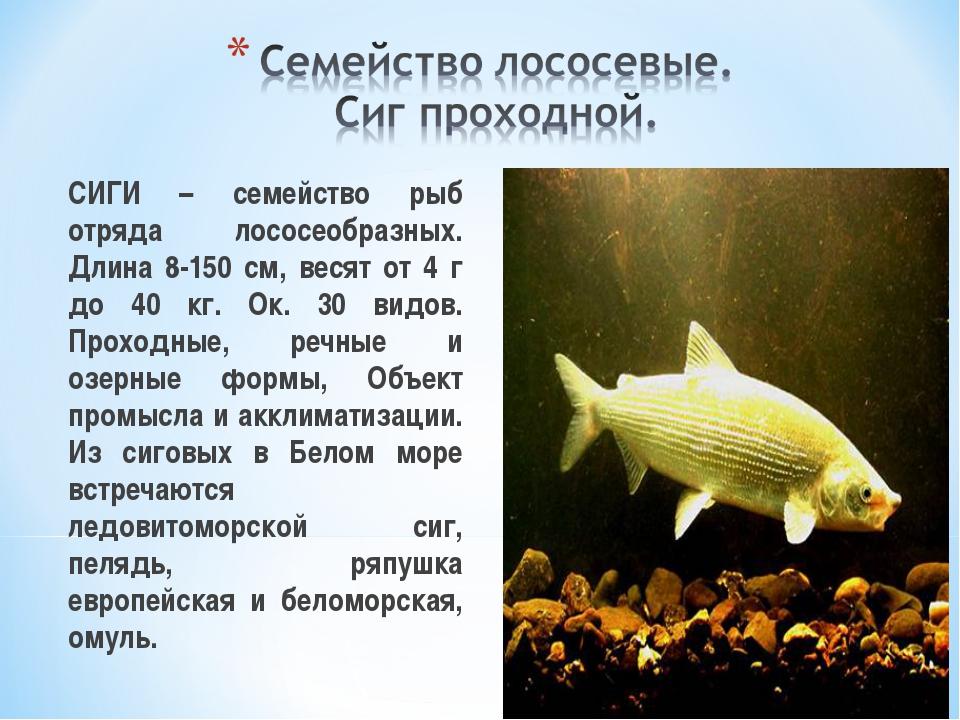 СИГИ – семейство рыб отряда лососеобразных. Длина 8-150 см, весят от 4 г до...
