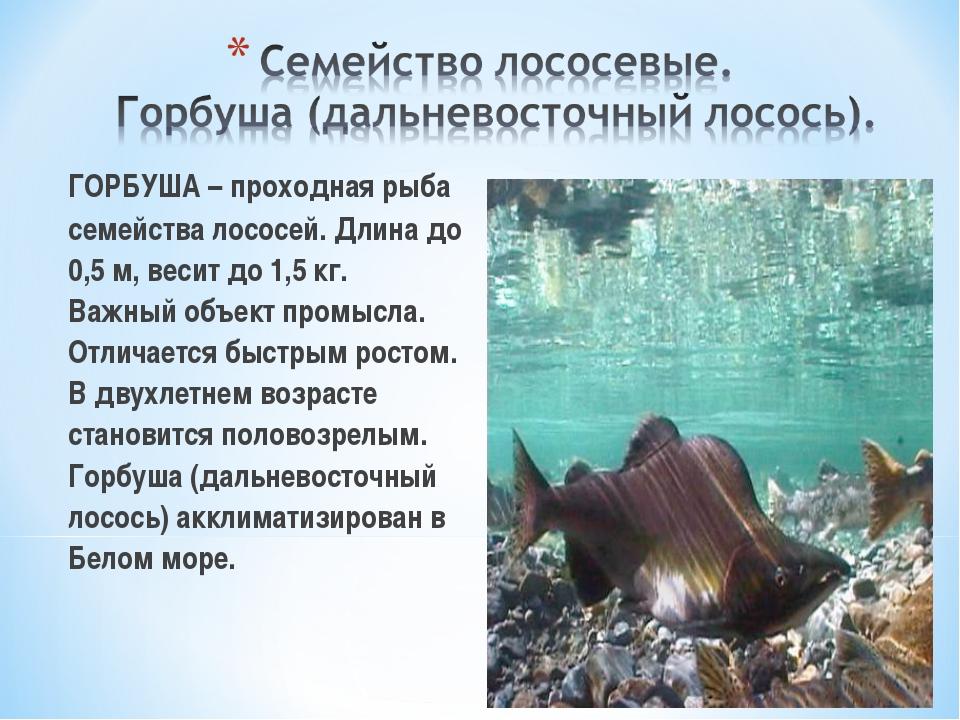 ГОРБУША – проходная рыба семейства лососей. Длина до 0,5 м, весит до 1,5 кг....