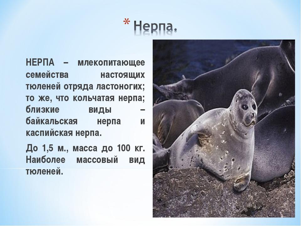 НЕРПА – млекопитающее семейства настоящих тюленей отряда ластоногих; то же,...