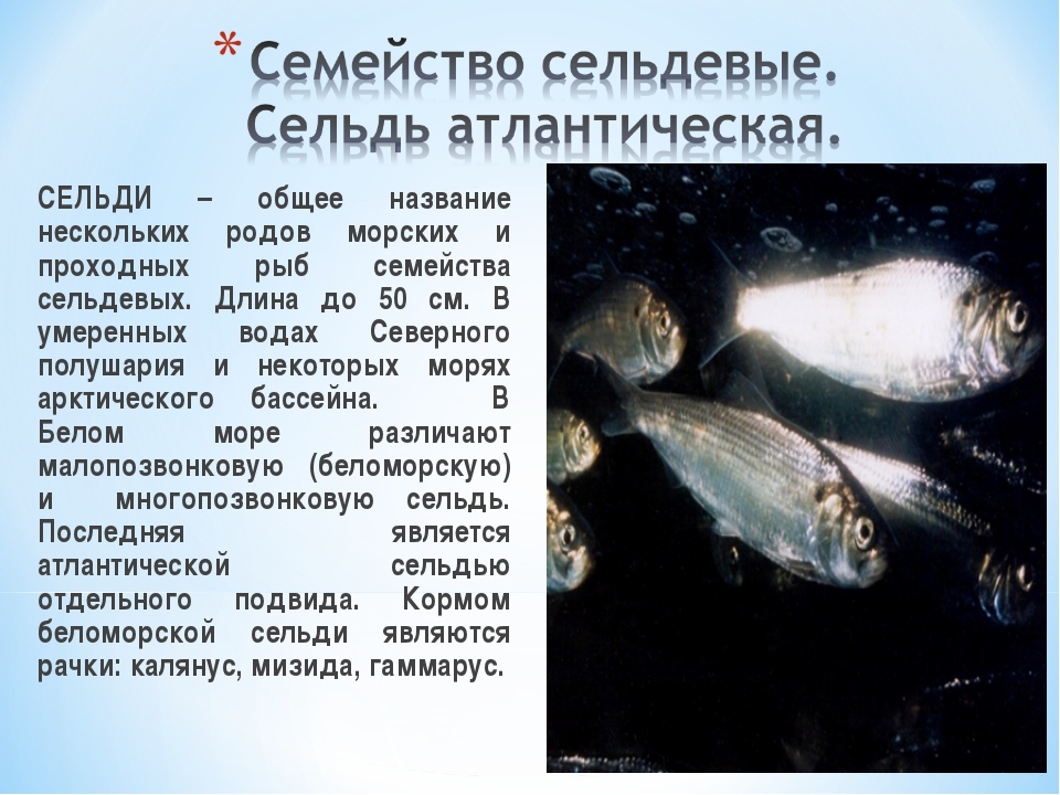 СЕЛЬДИ – общее название нескольких родов морских и проходных рыб семейства с...