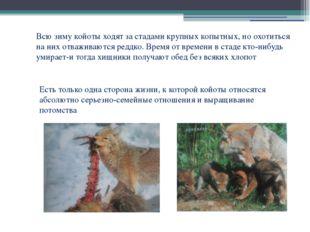 Всю зиму койоты ходят за стадами крупных копытных, но охотиться на них отважи