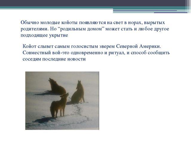 """Обычно молодые койоты появляются на свет в норах, вырытых родителями. Но """"род..."""