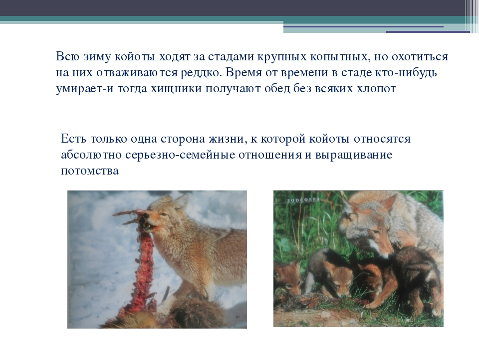Всю зиму койоты ходят за стадами крупных копытных, но охотиться на них отважи...