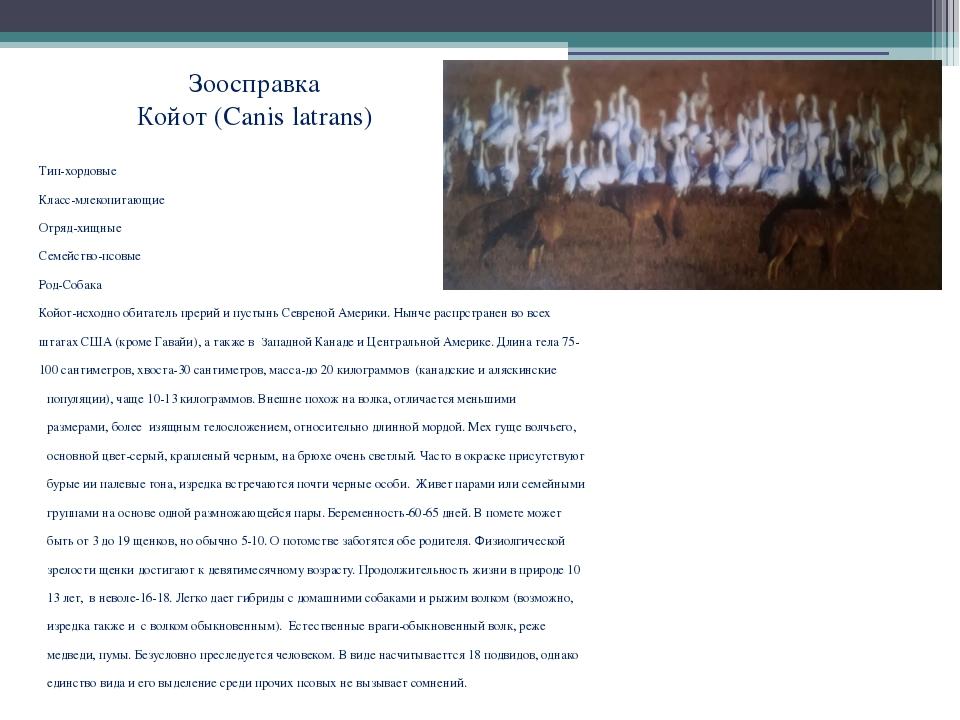 Зоосправка Койот (Canis latrans) Тип-хордовые Класс-млекопитающие Отряд-хищны...