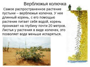 Верблюжья колючка Самое распространенное растение пустыни – верблюжья колючк