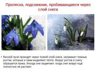 Пролеска, подснежник, пробивающиеся через слой снега Весной лучи проходят чер