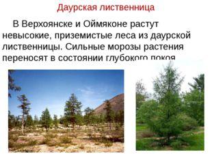 Даурская лиственница В Верхоянске и Оймяконе растут невысокие, приземистые ле