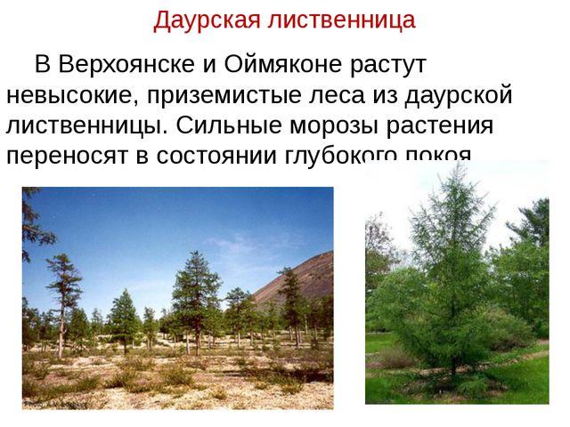 Даурская лиственница В Верхоянске и Оймяконе растут невысокие, приземистые ле...