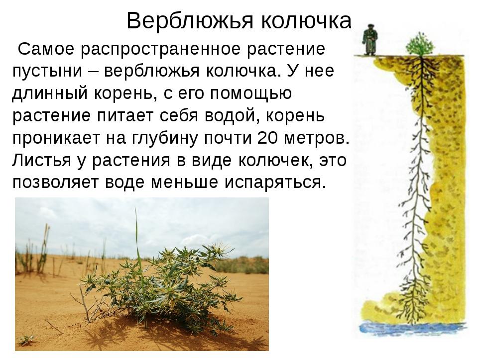 Верблюжья колючка Самое распространенное растение пустыни – верблюжья колючк...