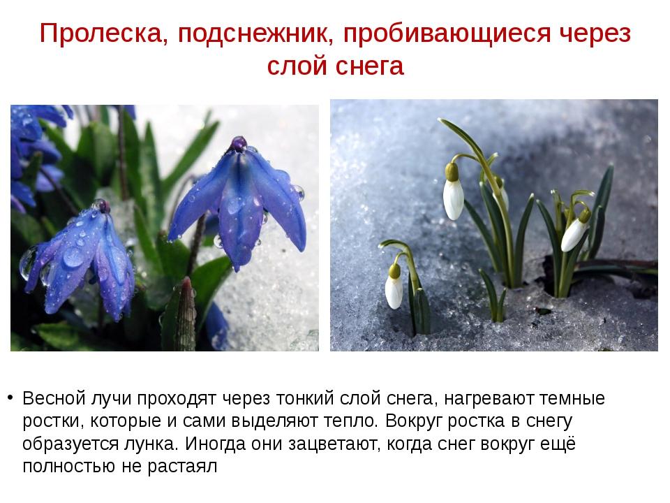 Пролеска, подснежник, пробивающиеся через слой снега Весной лучи проходят чер...