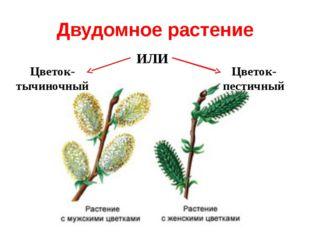 Двудомное растение ИЛИ Цветок- тычиночный Цветок- пестичный