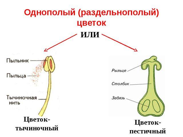 Однополый (раздельнополый) цветок ИЛИ Цветок- тычиночный Цветок- пестичный