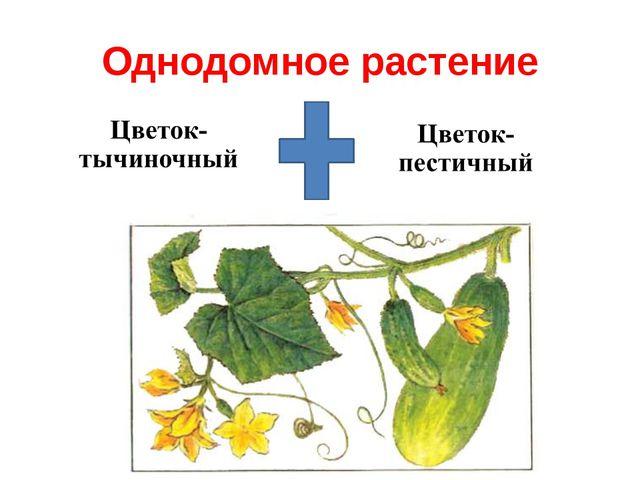 Однодомное растение