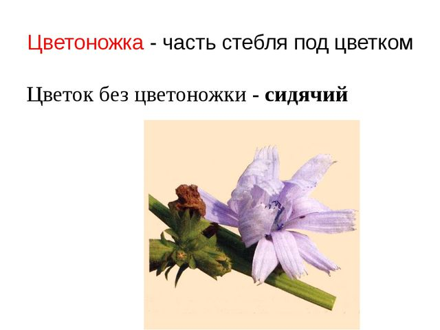 Цветоножка - часть стебля под цветком Цветок без цветоножки - сидячий