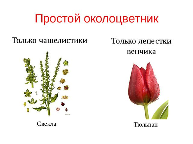 Простой околоцветник Только чашелистики Только лепестки венчика Свекла Тюльпан