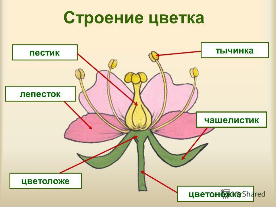 нашего времени что значет цветок без правого липестка хочу