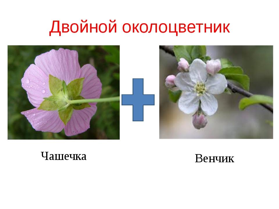 Двойной околоцветник Чашечка Венчик