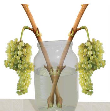 Как правильно хранить виноград в домашних условиях