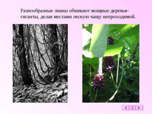 Разнообразные лианы обвивают мощные деревья-гиганты, делая местами лесную чащ