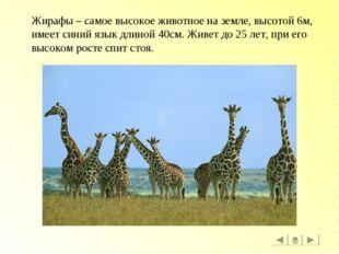 Жирафы – самое высокое животное на земле, высотой 6м, имеет синий язык длиной