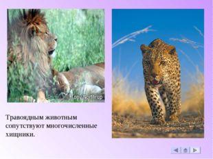 Травоядным животным сопутствуют многочисленные хищники.