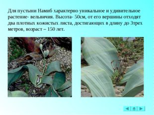 Для пустыни Намиб характерно уникальное и удивительное растение- вельвичия. В