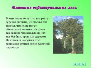 В этих лесах то тут, то там растут деревья-гиганты, их стволы так толсты, что
