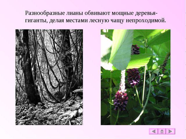 Разнообразные лианы обвивают мощные деревья-гиганты, делая местами лесную чащ...