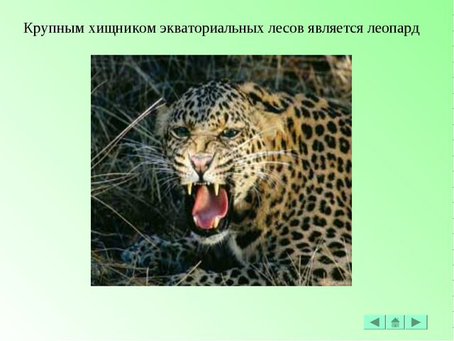 Крупным хищником экваториальных лесов является леопард