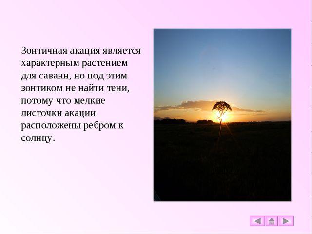 Зонтичная акация является характерным растением для саванн, но под этим зонти...