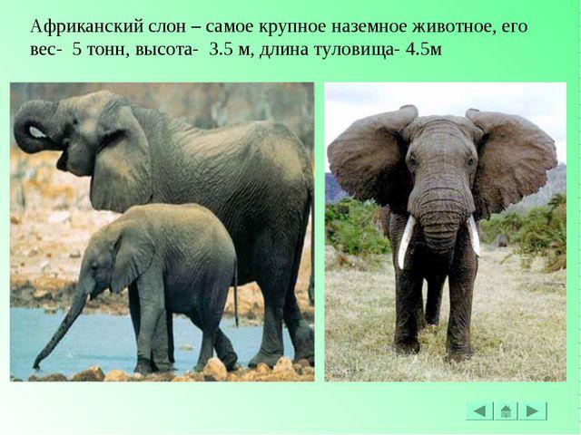 Африканский слон – самое крупное наземное животное, его вес- 5 тонн, высота-...