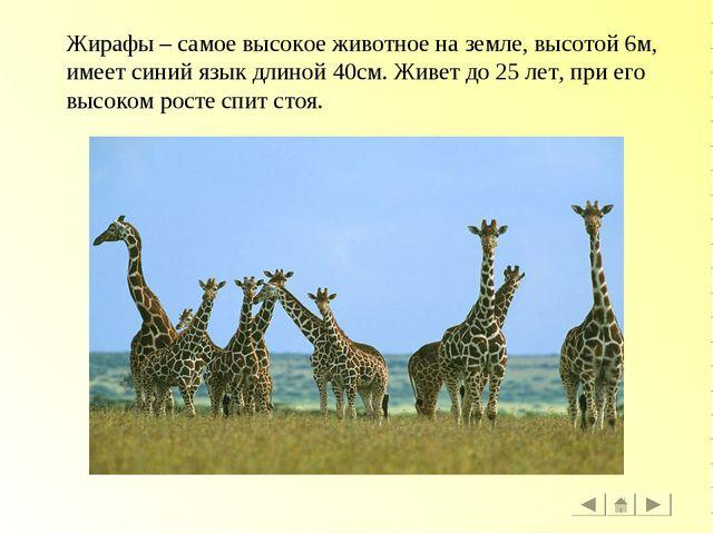 Жирафы – самое высокое животное на земле, высотой 6м, имеет синий язык длиной...