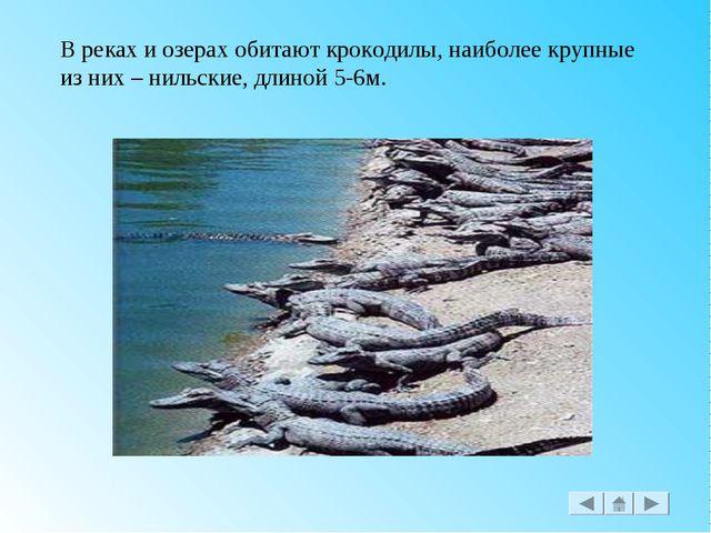 В реках и озерах обитают крокодилы, наиболее крупные из них – нильские, длино...
