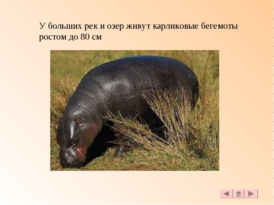 У больших рек и озер живут карликовые бегемоты ростом до 80 см