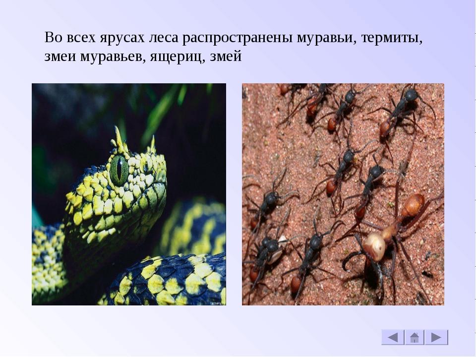 Во всех ярусах леса распространены муравьи, термиты, змеи муравьев, ящериц, з...