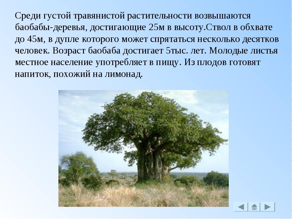 Среди густой травянистой растительности возвышаются баобабы-деревья, достигаю...