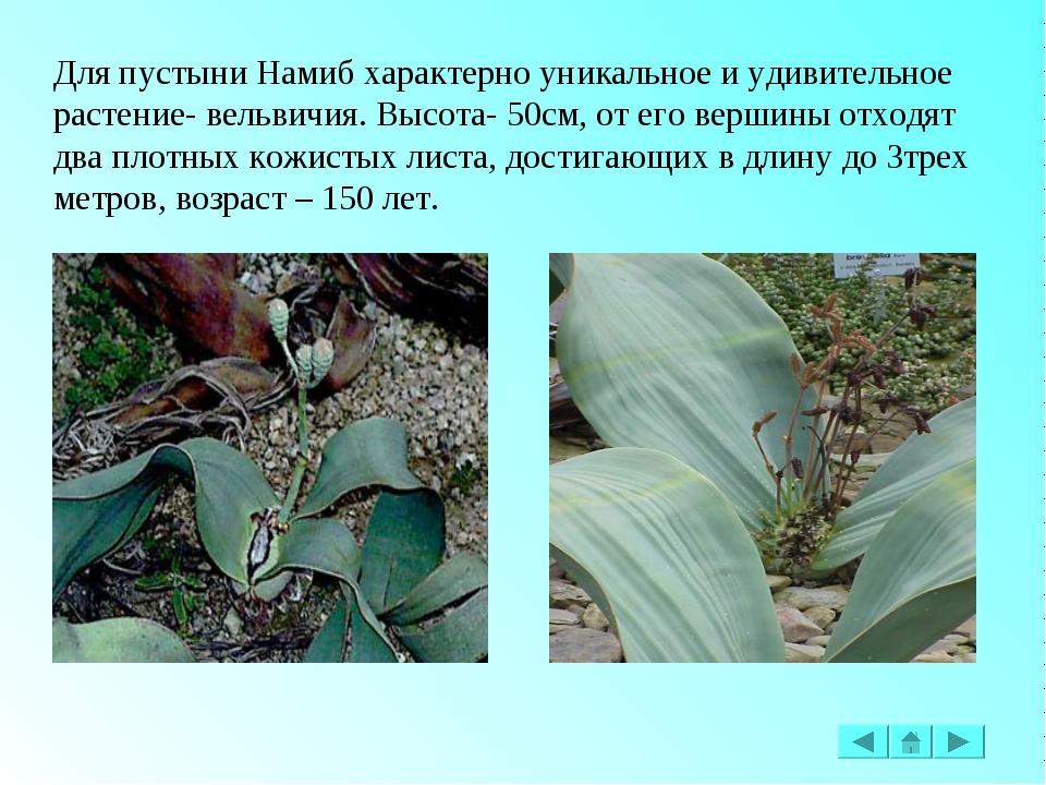 Для пустыни Намиб характерно уникальное и удивительное растение- вельвичия. В...